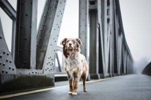 Dog, Bridge, Architecture, Quadruped