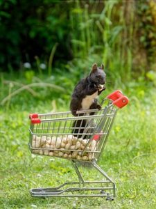 Squirrel, Shopping Cart, Nuts, Nager